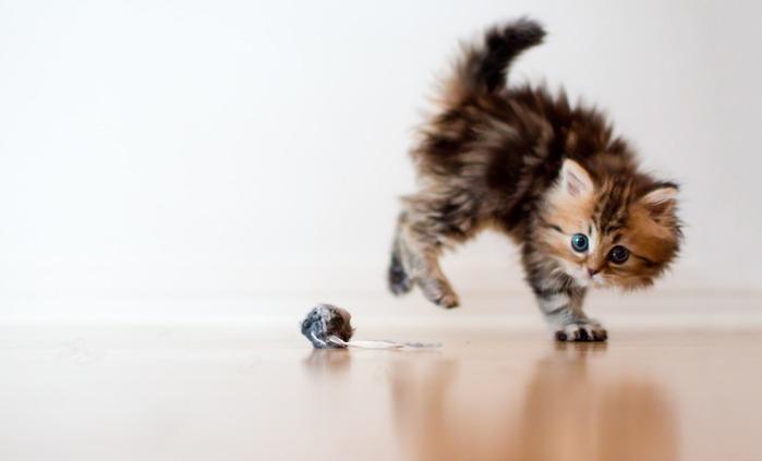 Где купить котенка в Москве: питомники?
