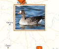 Где купить гусей в Москве?